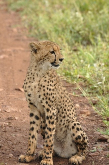 Cheetah Cub in Kruger South Africa