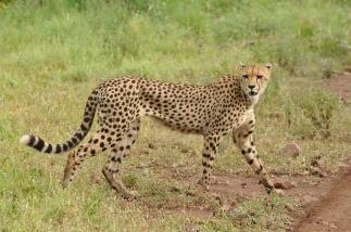 Female cheetah South Africa