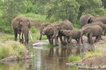 Elephant Herd drinking Lebombo Kruger