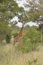 Curious Giraffe looks over our walking safari in the Sabi Sabi Private Reserve South Africa