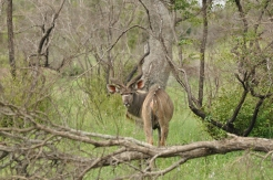 Magnificent male Kudu in Lebombo Kruger Africa