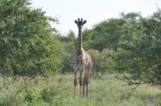 Young Giraffe Lebombo