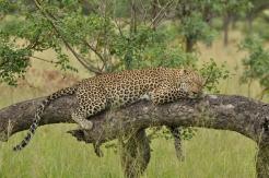 Leopard in Sabi Sabi private reserve