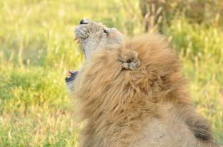 Lion Lebombo