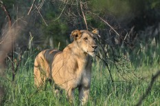 Lionesse in Lebombo Kruger South Africa