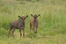 Curious young wildebeest in Sabi Sabi