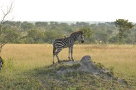 Young Zebra Sabi Sands South Africa