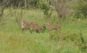 Cheetah and cubs Kruger South Africa