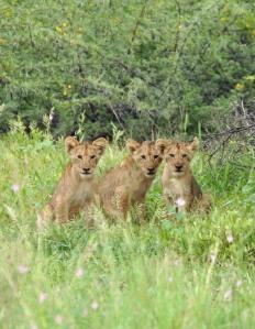 Lion cubs in Kruger National Park South Africa