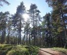 Pine Forest Gammelstrang Sweden